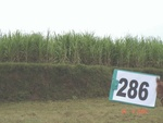 130220286b-irrigated-supplemental-groundwater-sugarcane.gif