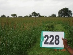 128130228a-rainfed-agriculture-millet.gif